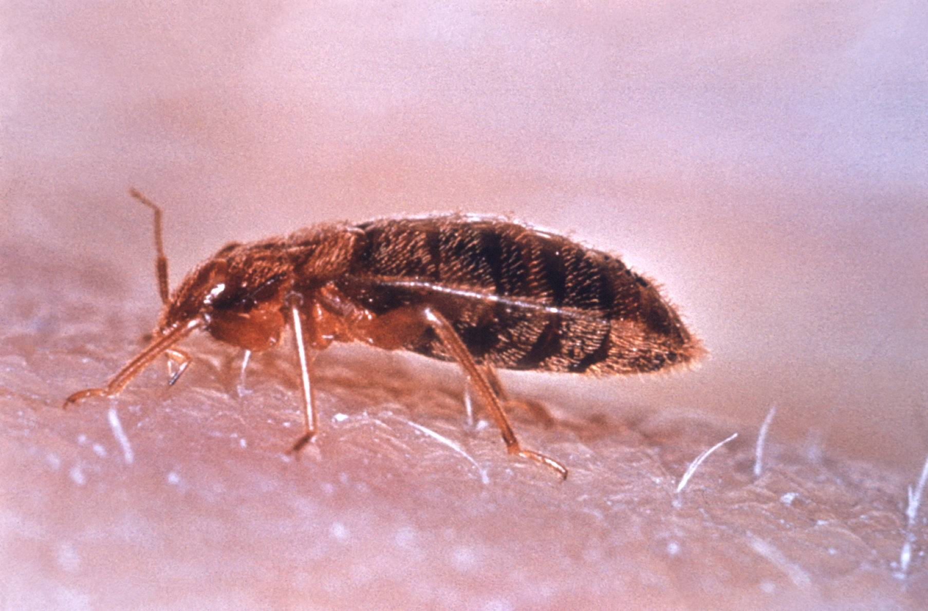 Very Impressive portraiture of Bed bugs more formally known as Cimex lectularius are now hanging  with #A83923 color and 1806x1190 pixels